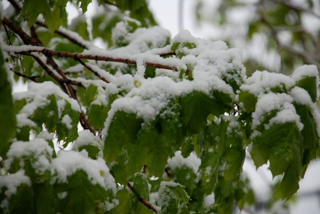 snowy-leaves2